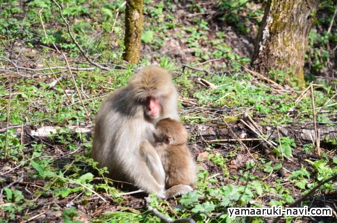 徳沢から明神で猿の集団