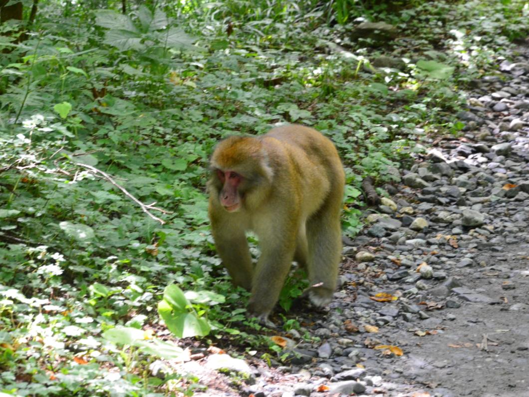 徳沢から明神の登山道でくつろぐお猿さん